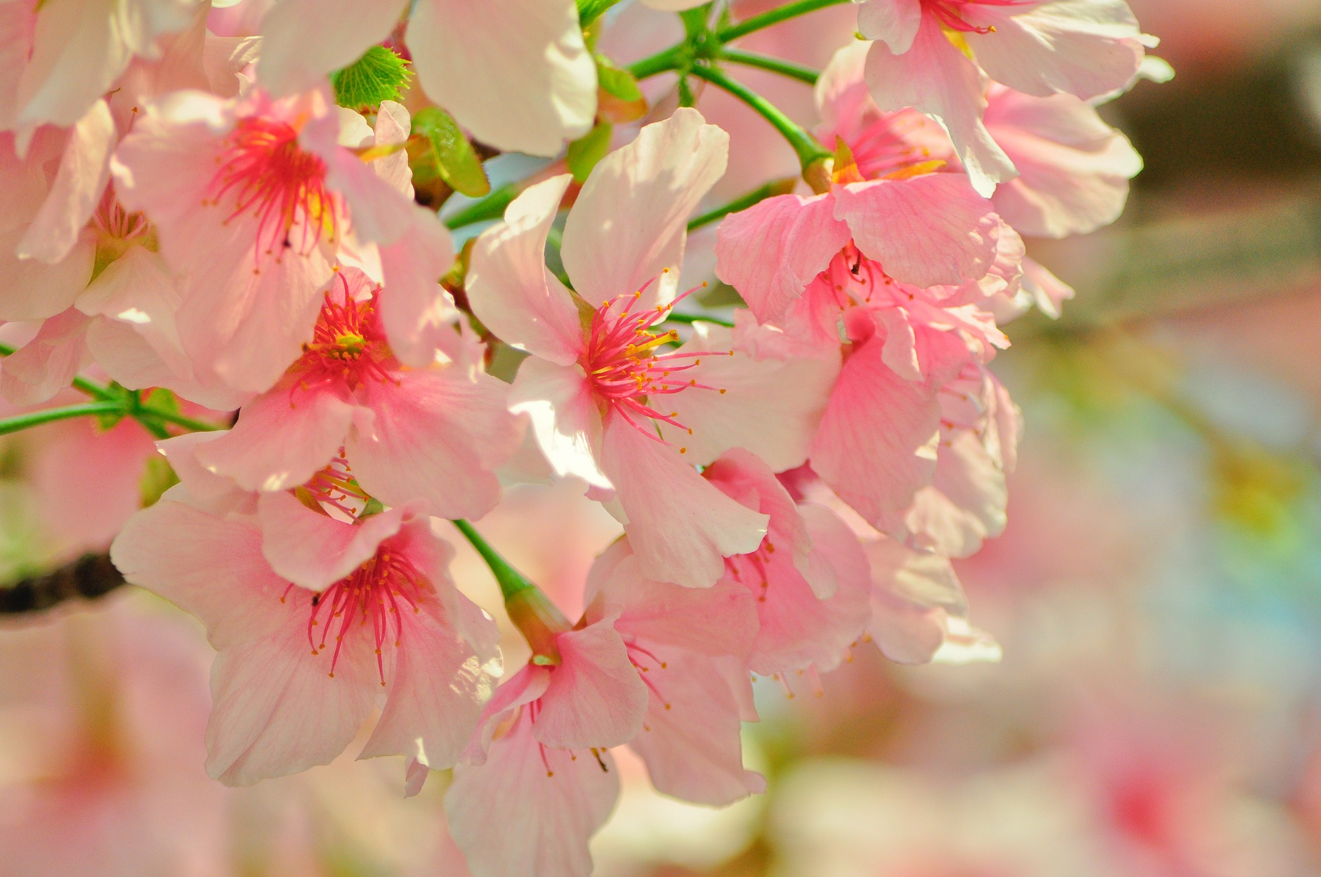 cherry-blossoms-713951_1920