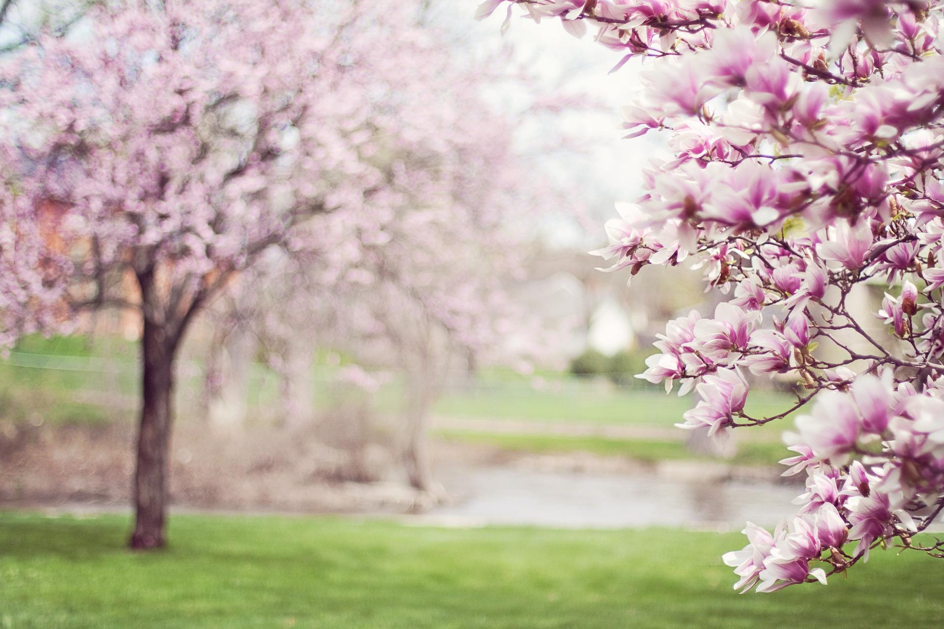 magnolia-trees-556718_1920 (1)