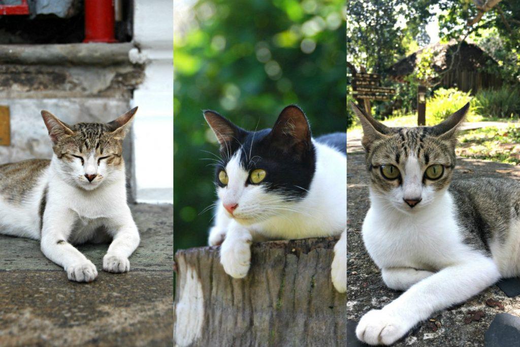 Katten uit Thailand
