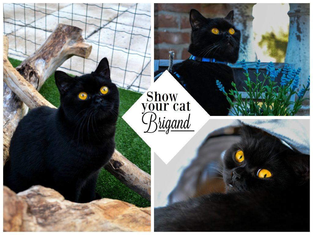 Show Your Cat | Brigand